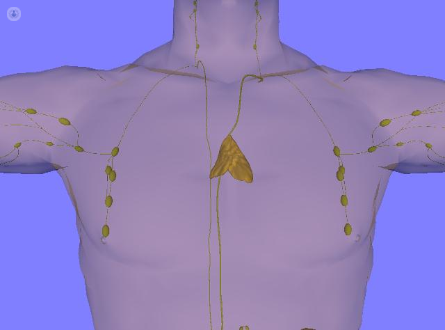 The thymus gland and what it does